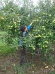 GS apple picking