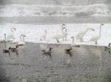 ten swans