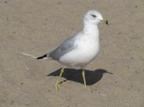 a very rare bird