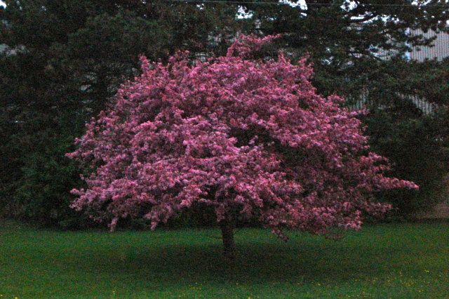 fuchsia crabapple tree