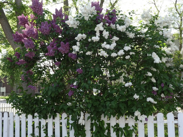 magenta and white lilacs