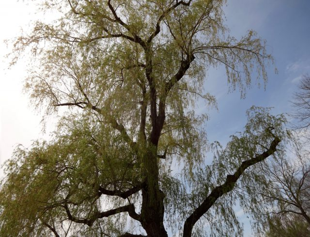 willow tree