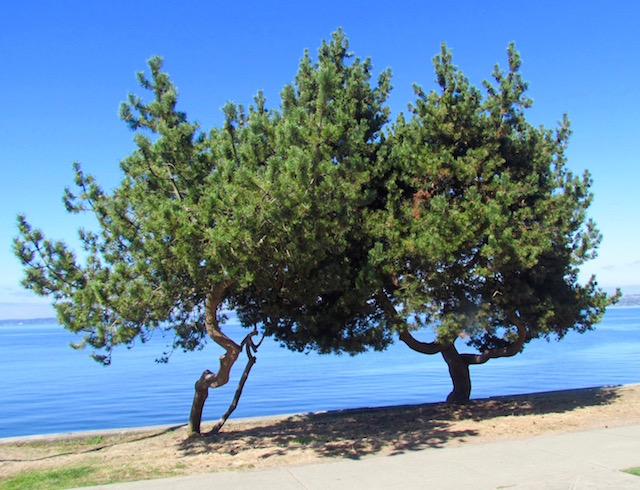 trees-at-alki-beach